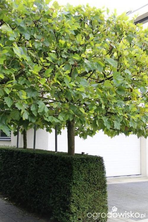 Drzewo kandelabr Poznań Projekt Centrum