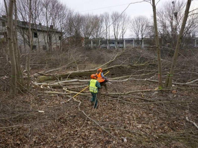 Wycinka drzew w Poznaniu Starołeka Mała