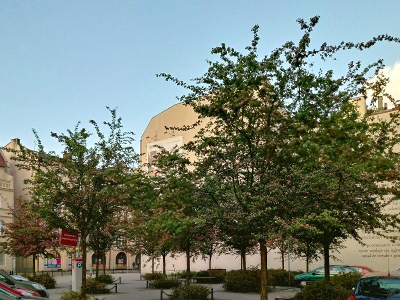 Zaułek poetów - Plac Kolegiacki, wycinka drzew przy przychodni