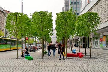 Poznań drzewa na ulicy Święty Marcin - lipa holenderska