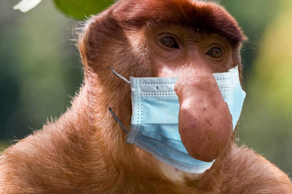 """Nieprawidłowe noszenie maseczki: wystający nos. Nosacz sundajski (""""typowy Polak"""")"""