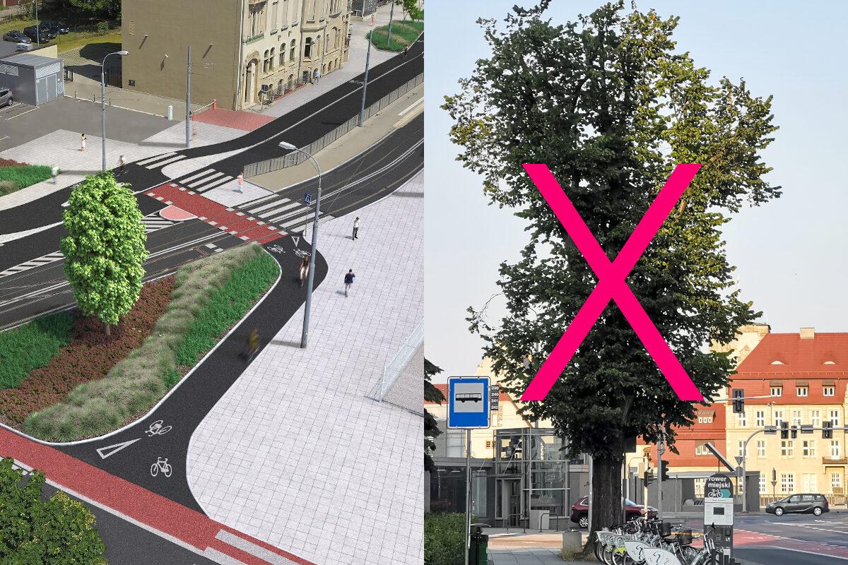 Konsultacje drogi rowerowej na Zwierzynieckiej. Drogowcy chcą wyciąć duże drzewo